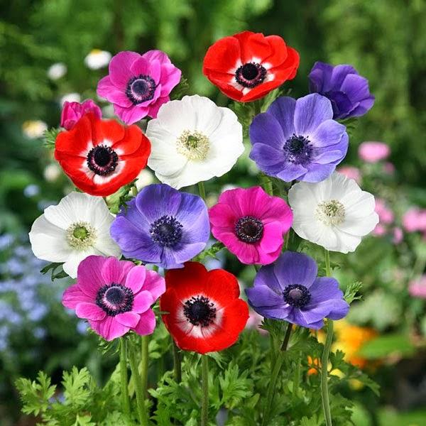 an mona de jardin an mona coronaria anemone coronaria