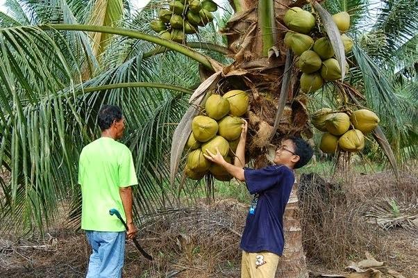 Projek Kebun kelapa Matag