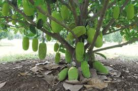 buah nangkadak perpaduan nangka dan cempedak