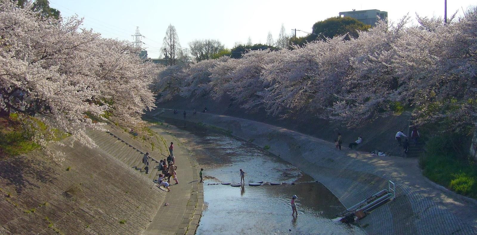 Menikmati Keindahan Bunga Sakura Tepi Sungai Nagoya Riverside