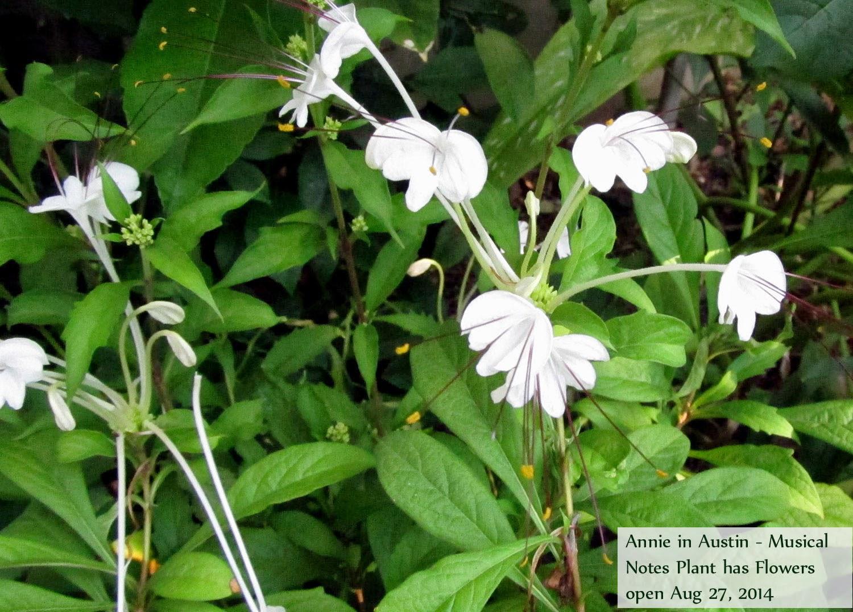 Clerodendrum conundrums - El jardinero perezoso