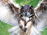 Raccoonov IMG_8459+Eagle+Owl