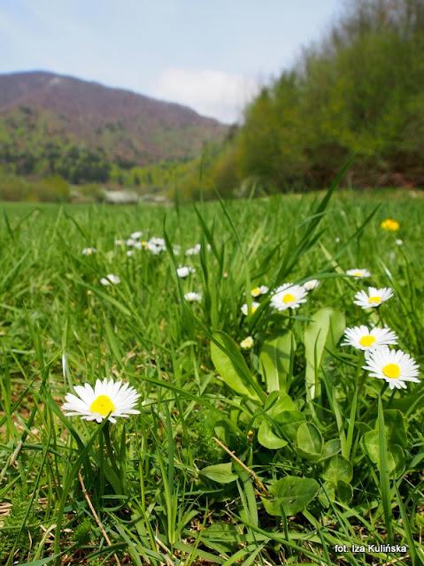 stokrotki , orawa , wiosna , kwiaty