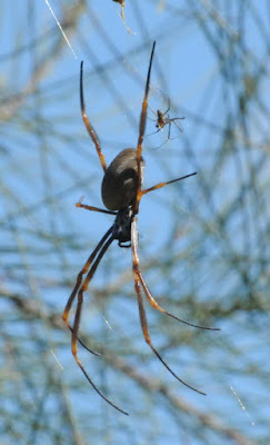 Coastal Golden Orb Weaver (Nephila plumipes