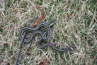 Rattlers Scare Me To Death