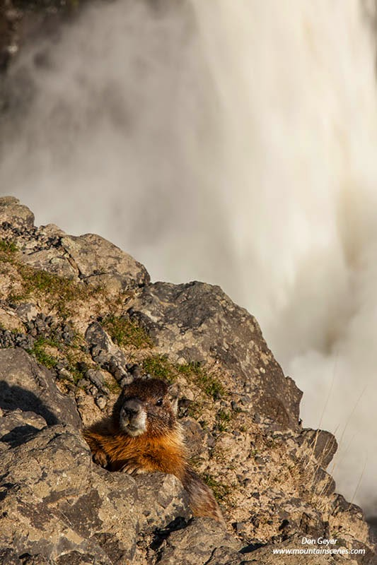 A yellow-bellied marmot peaks out from behind some rocks with Palouse Falls in the background, Palouse Falls State Park, Washington.