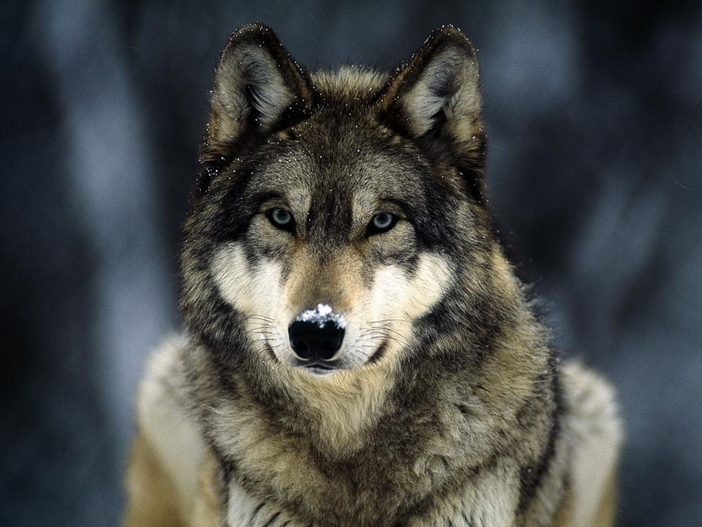 wallpapers wolf in winter wallpapers