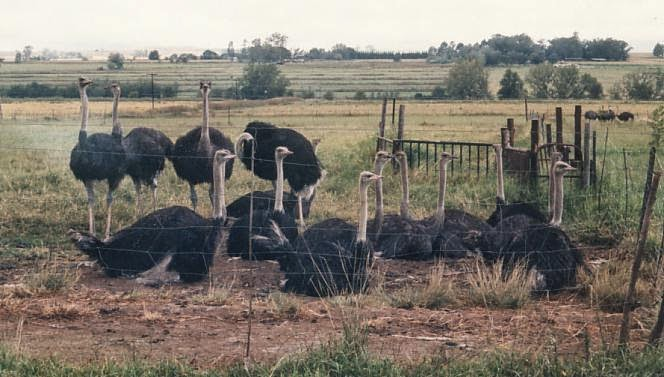 Ostrich Industry