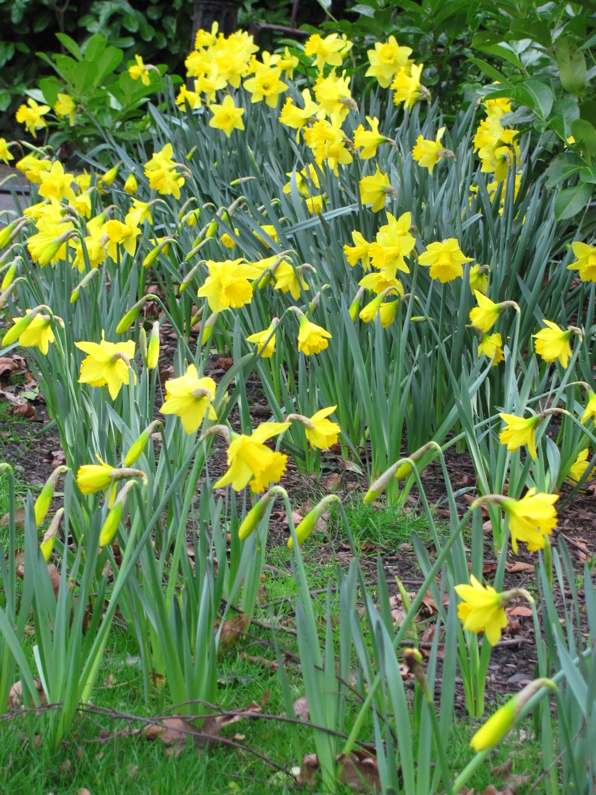 Daffodils at St. Stephens Green Dublin, Ireland