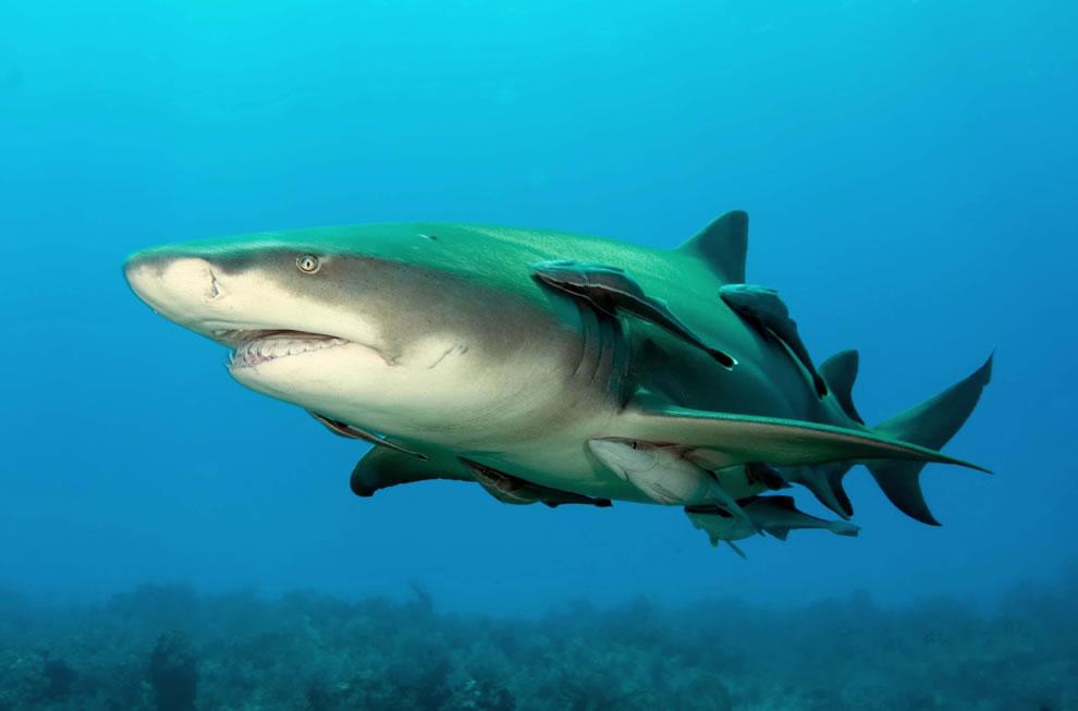 اسماك القرش تحت الماء Lemonshark.jpg
