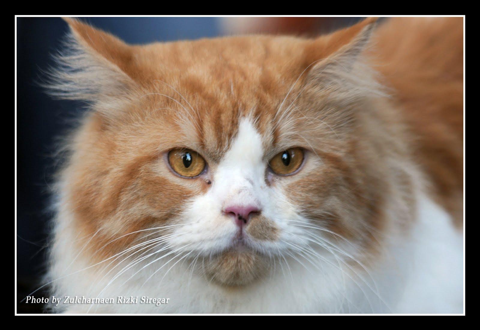 Kucing Persia Jual Kucing Newhairstylesformen2014 Com