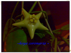 Hoya Coronaria
