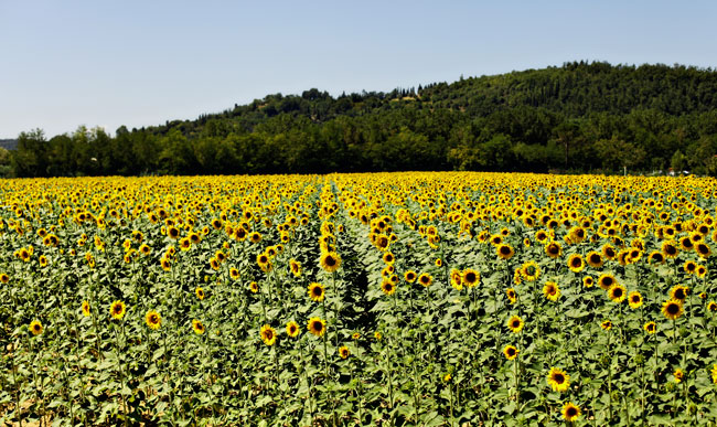 Flower Fields, Places to Visit in Tuscany, Sunflower Fields, Tuscany Sights to See, Sunflower,