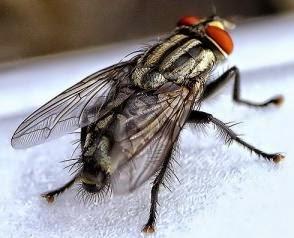 Peranan Lalat dalam Kesehatan Unggas - Sekilas Peternakan