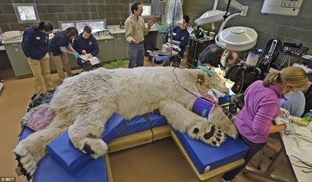 دب قطبي في زيارة لطبيب الأسنان