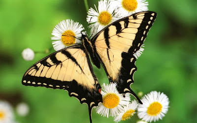 Butterfly HD Wallpaper