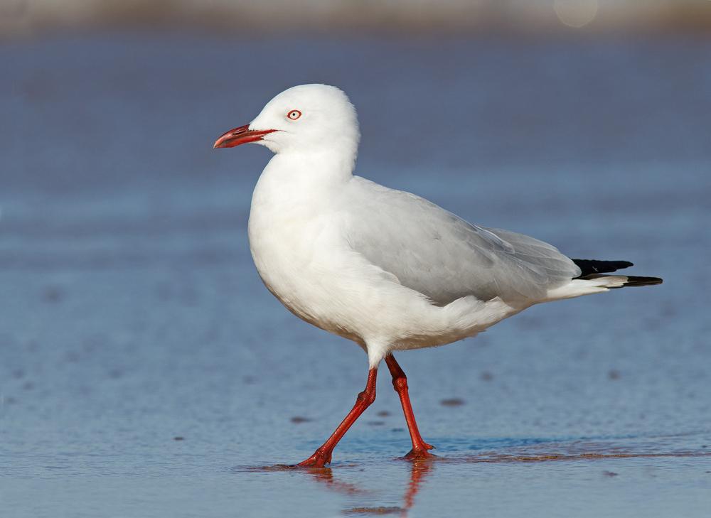 Silver Gulls | Stints and Gulls