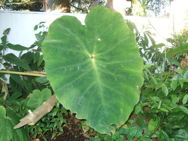 Colocasia gaoligongensis, Alternative Eden