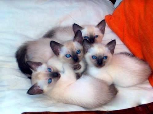 EL MAGICO MUNDO FELINO DE NIKI: Razas de gatos. Sus ...