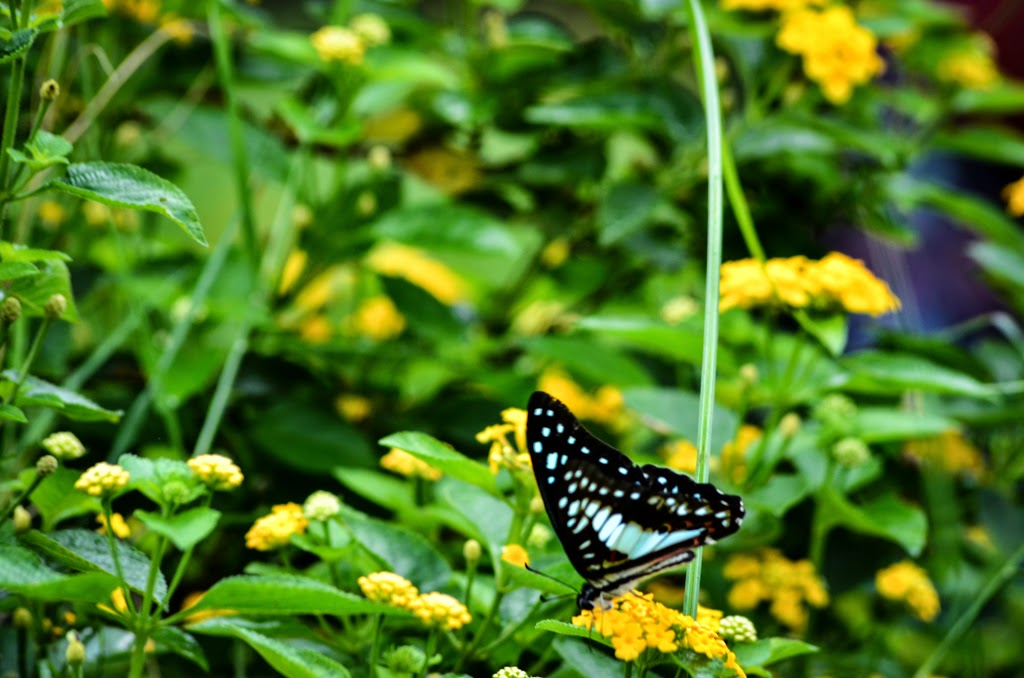 Butterfly-sitting-on-flower-pune