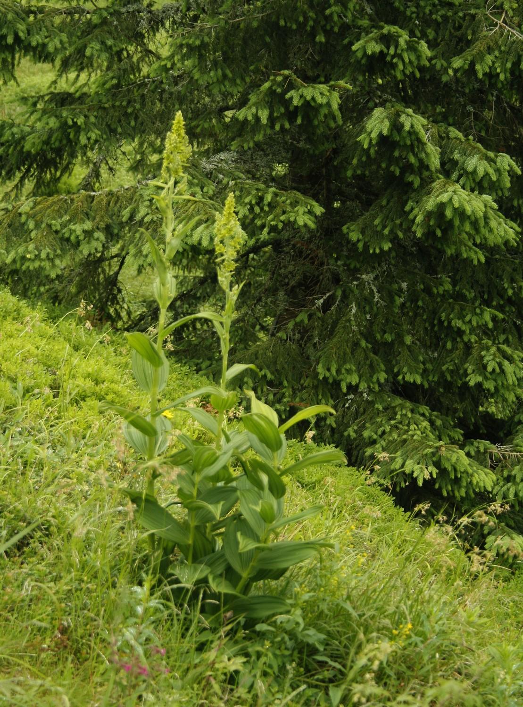 Ciemierzyca zielona