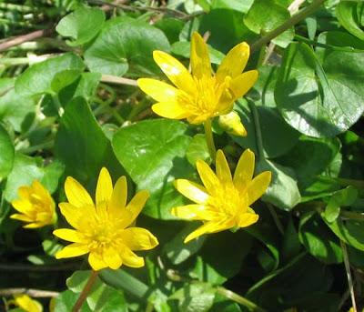 лютик весенний, лекарственные растения фото, лекарственные травы, фитотерапия, лютик, чистяк весенний