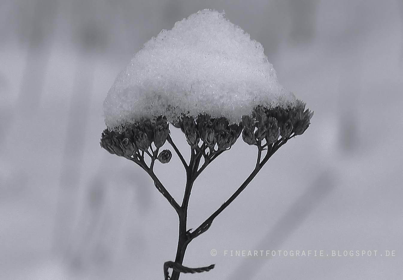 fine art fotografie schneebedeckt pflanzen im winter. Black Bedroom Furniture Sets. Home Design Ideas