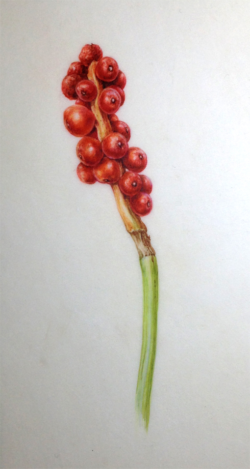 Arum fruit painting, watercolour on vellum