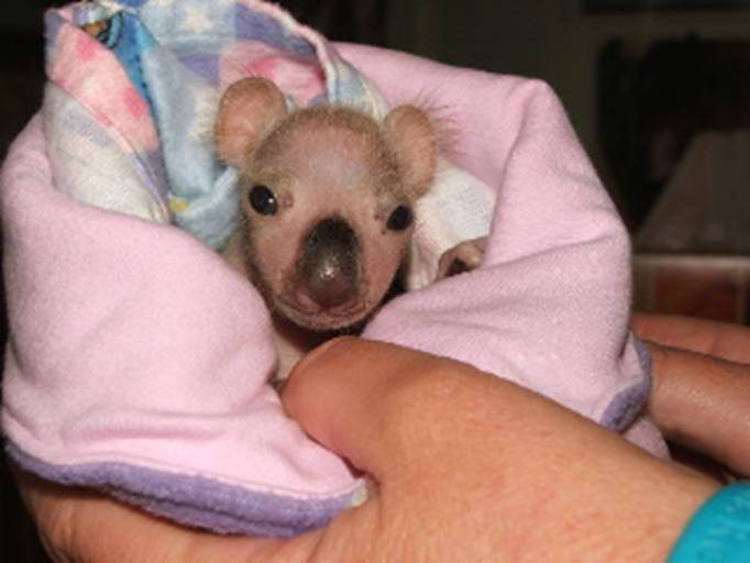 Maxie's Blog: Baby Koala Bear Twins Road to Survival