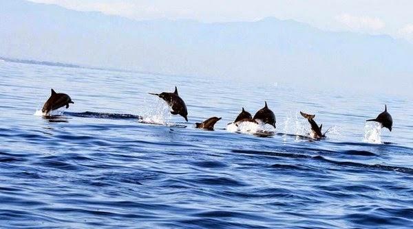 Lumba Lumba di Pantai Lovina