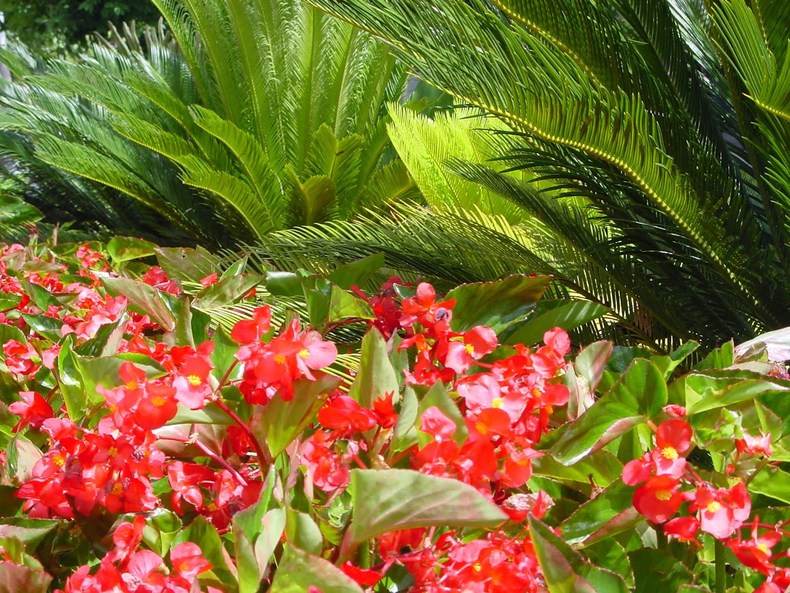Jardineria eladio nonay jardiner a eladio nonay begonia - Jardineria eladio nonay ...
