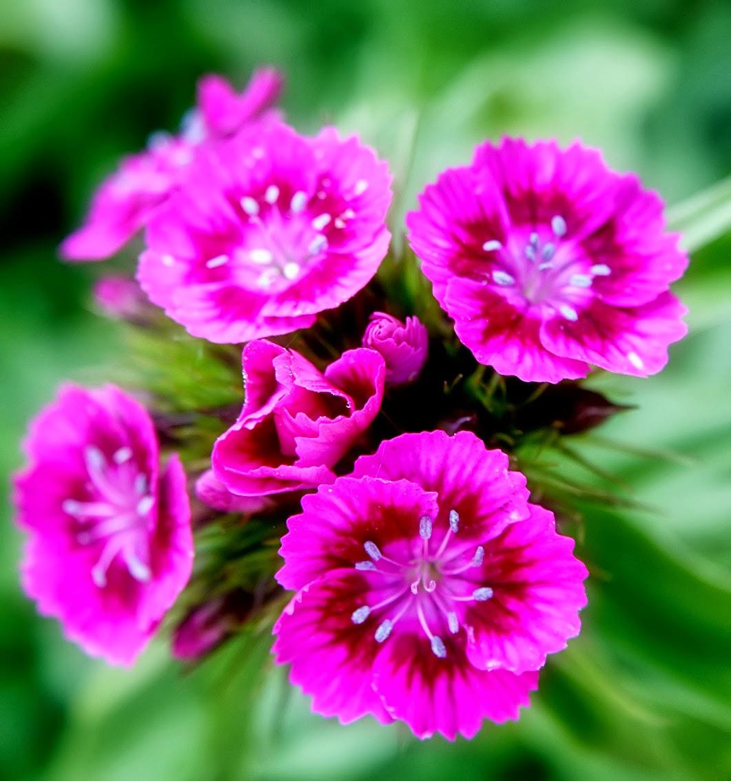 Flower Homes: Dianthus Barbatus Flowers