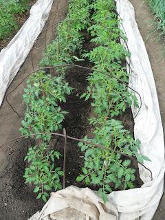 защита помидоров в открытом грунте