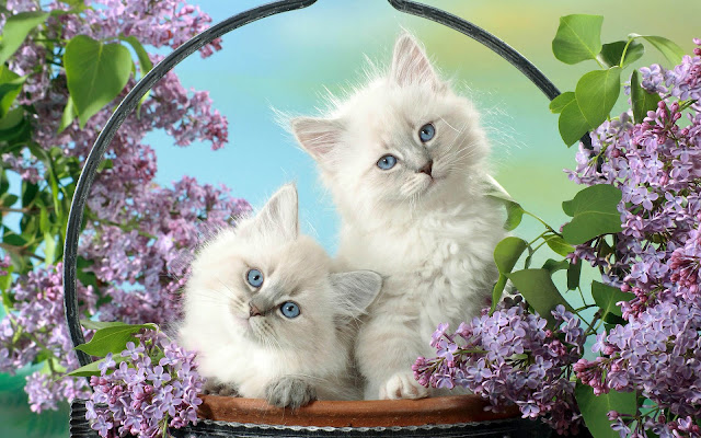 Two cute white cats in a basket