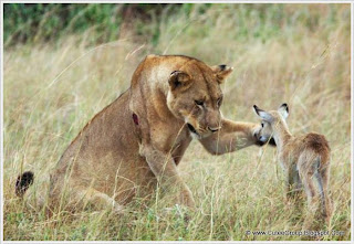 Lioness Adopted Baby Antelope