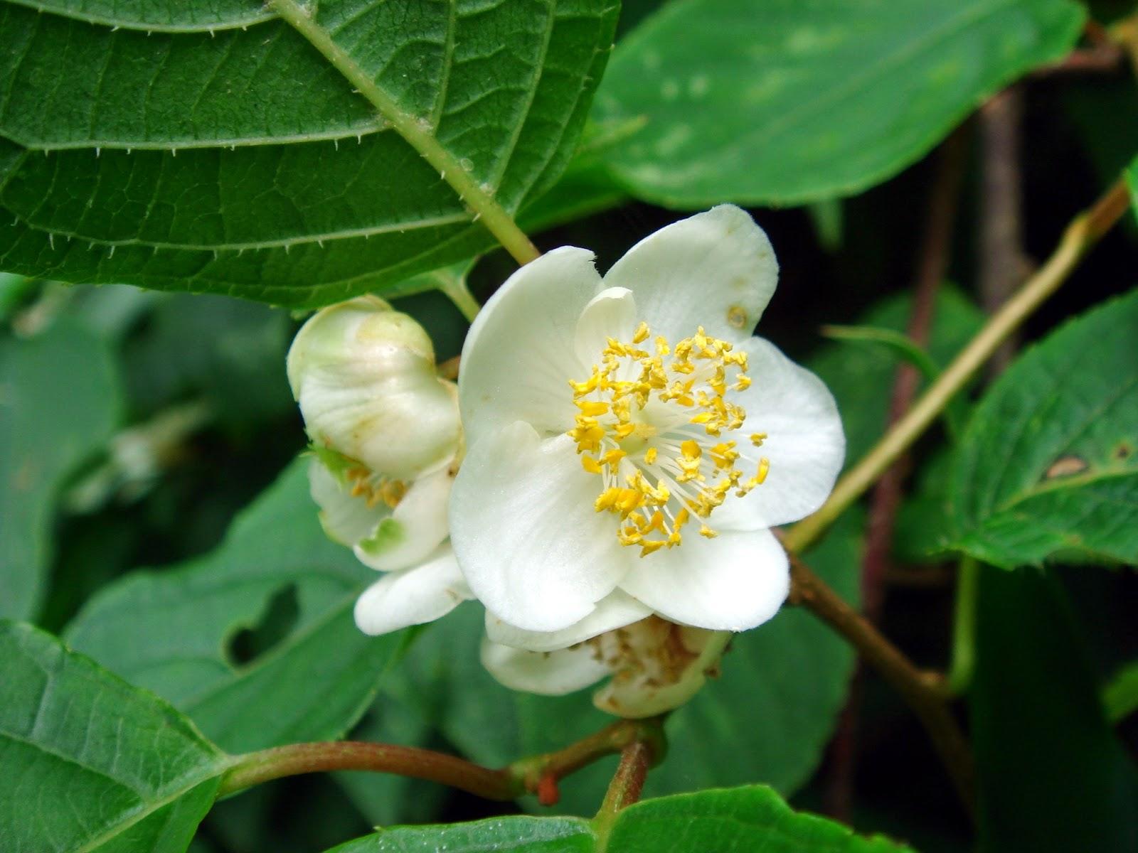 Актинидия женские и мужские цветки