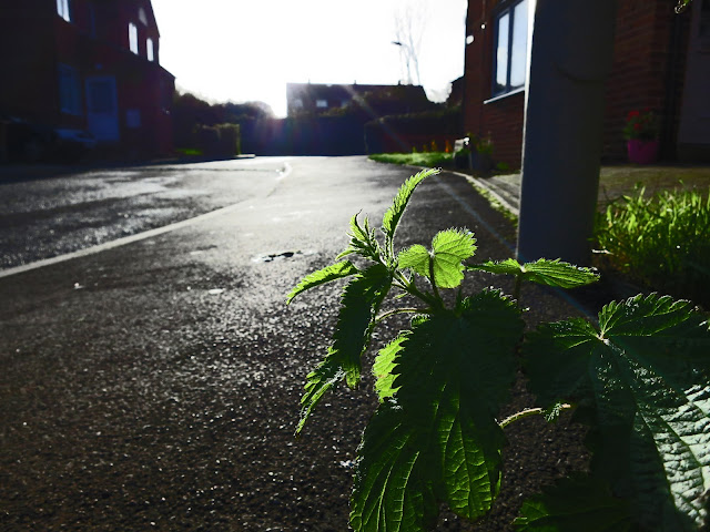 Nettle catching the evening light in a wet residential street