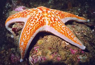 bintang laut contoh Echinodermata