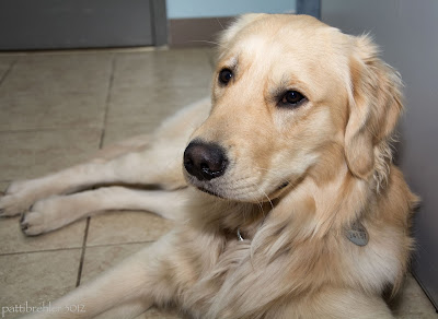 Front shot of a golden retriever dog lying on a tile floor.