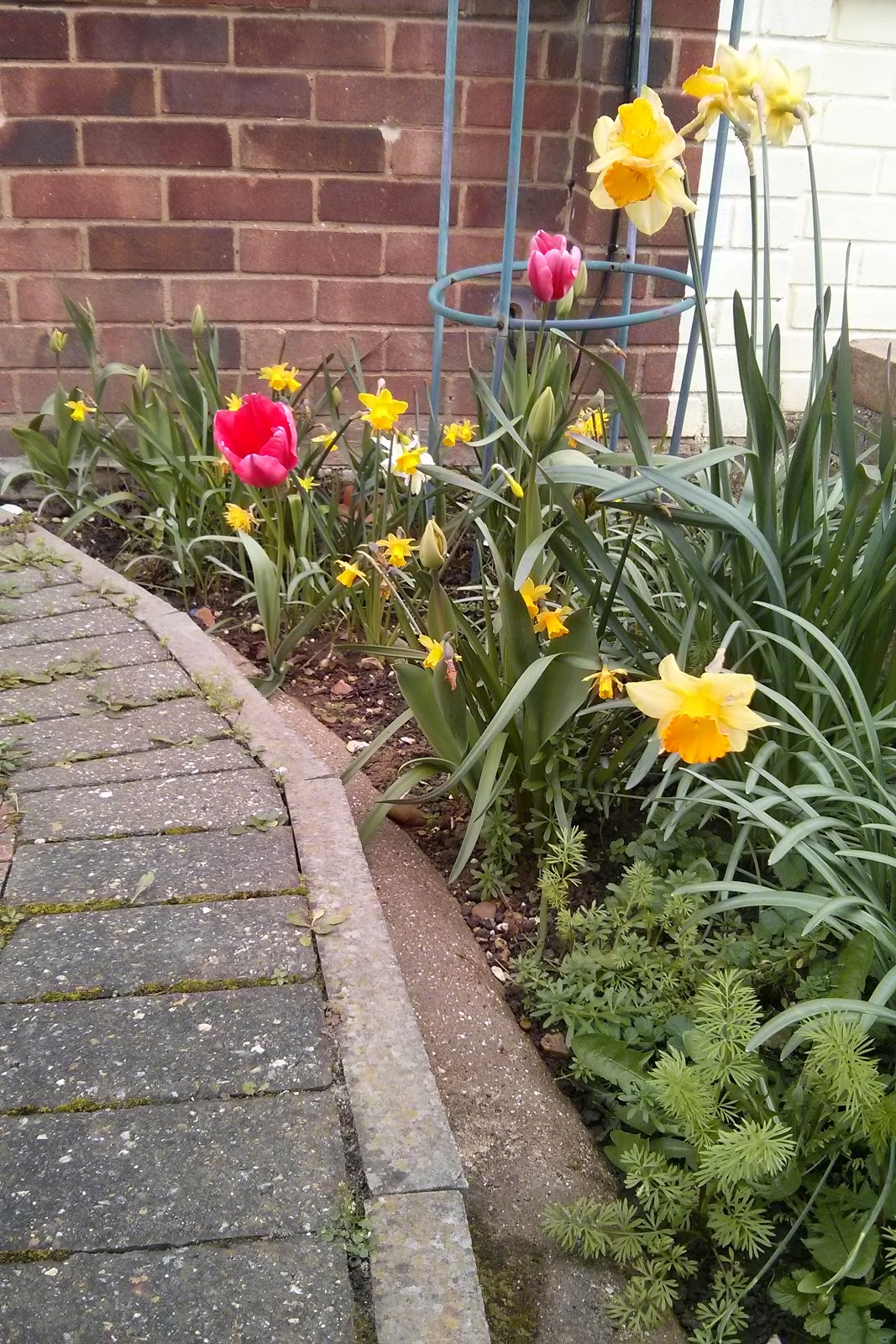 Daffodils and Tulips in bloom