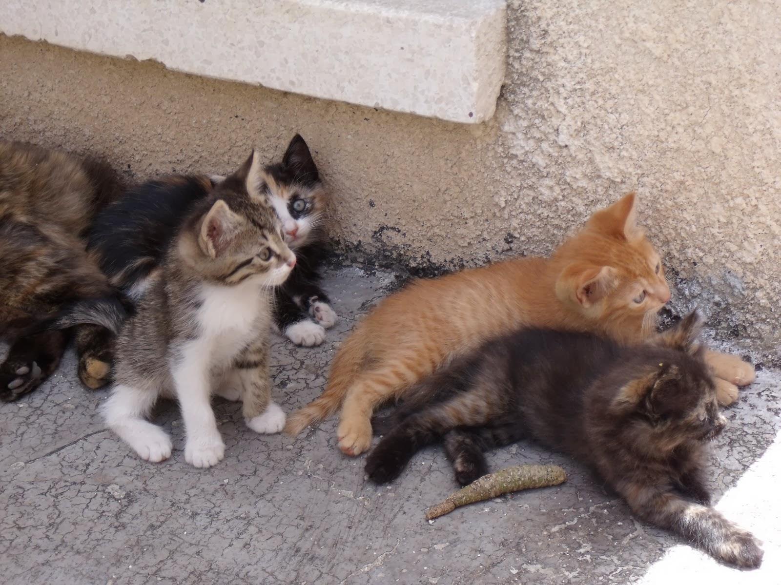 Greek Aegean Cat