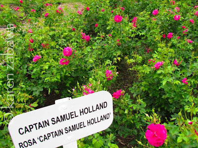 Captain Samuel Holland rose, hardy Canadian shrub.