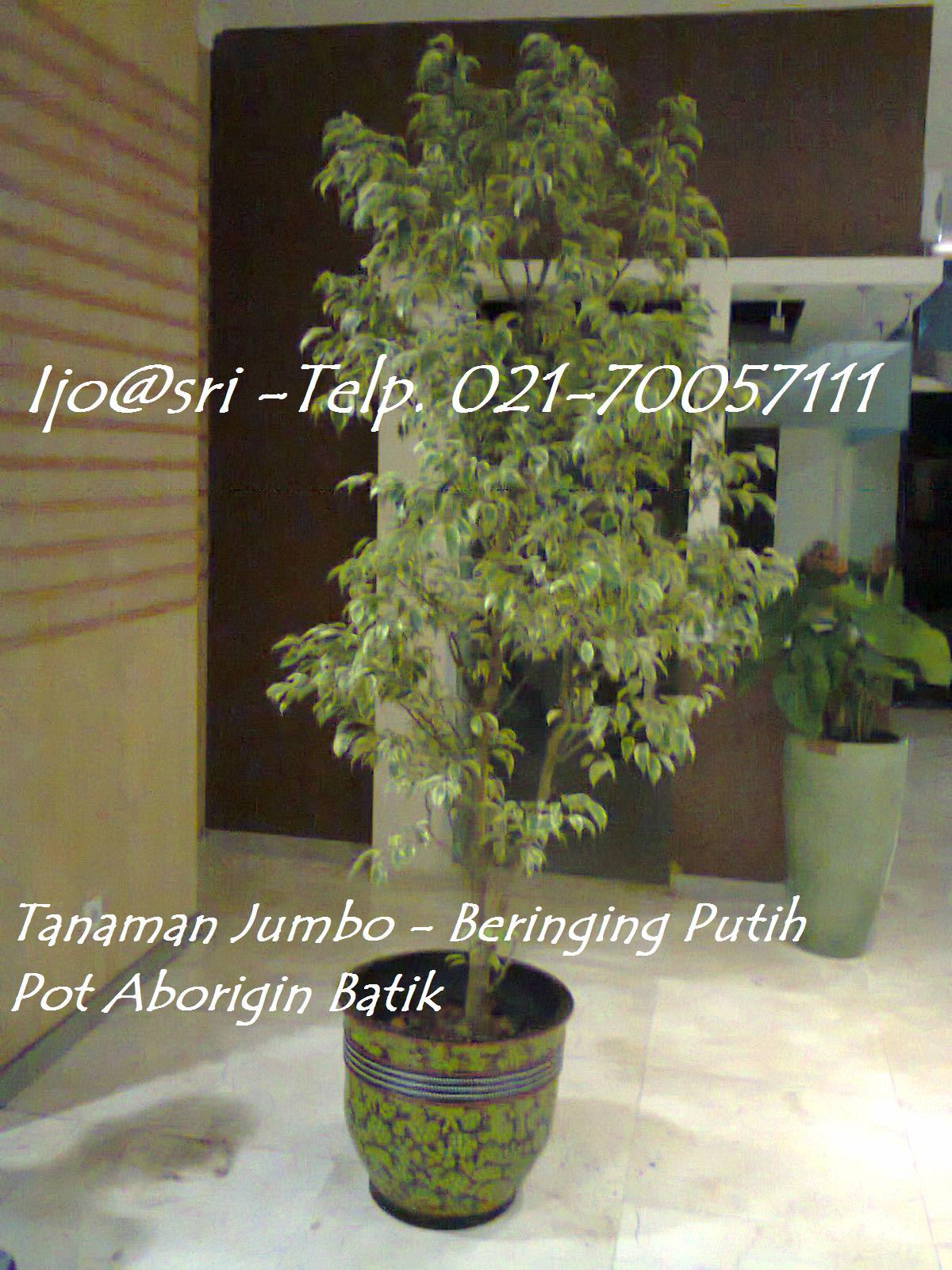 sewa tanaman jumbo | Beringin Putih / white banyan