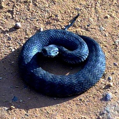 las serpientes venenosas: