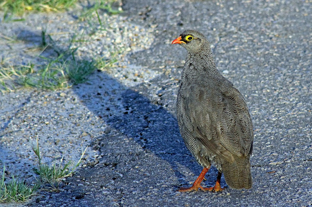 Buy wallart of francolin