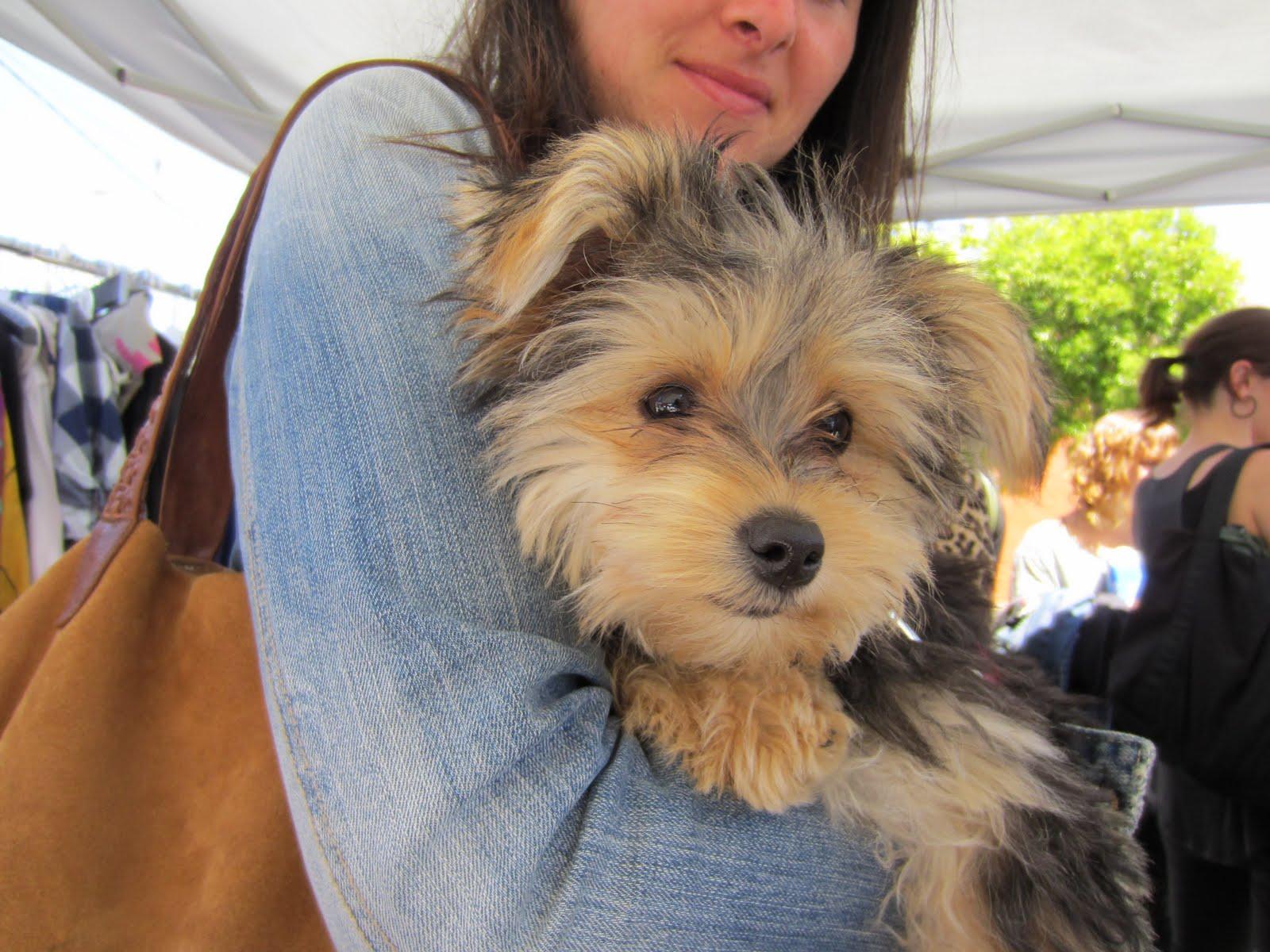 Author - Admin Date - 16:00 maltese mix Mixed Dog Breeds yorkie