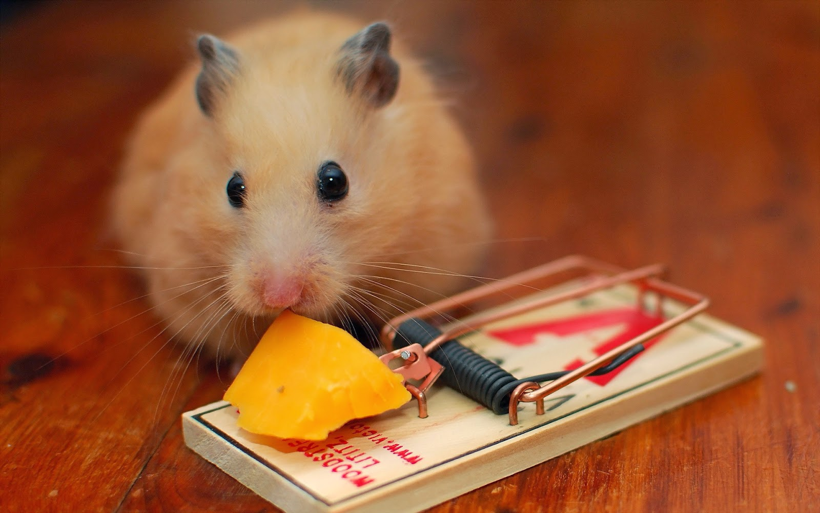 hamster wallpapers hd beautiful wallpapers collection 2014