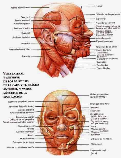 Morfofisiologia I: MÚSCULOS FACIALES Y MASTICATORIOS