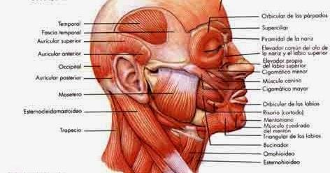 morfofisiologia i m sculos faciales y masticatorios