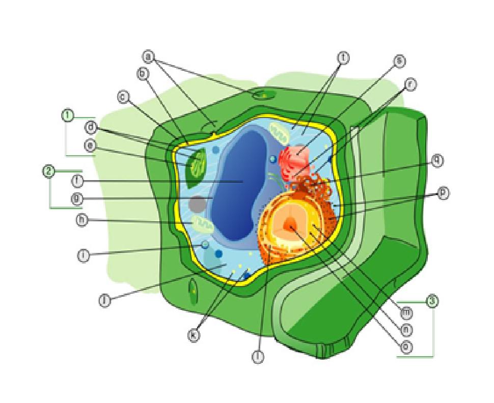 Struktur sel tumbuhan dan bagian-bagiannya